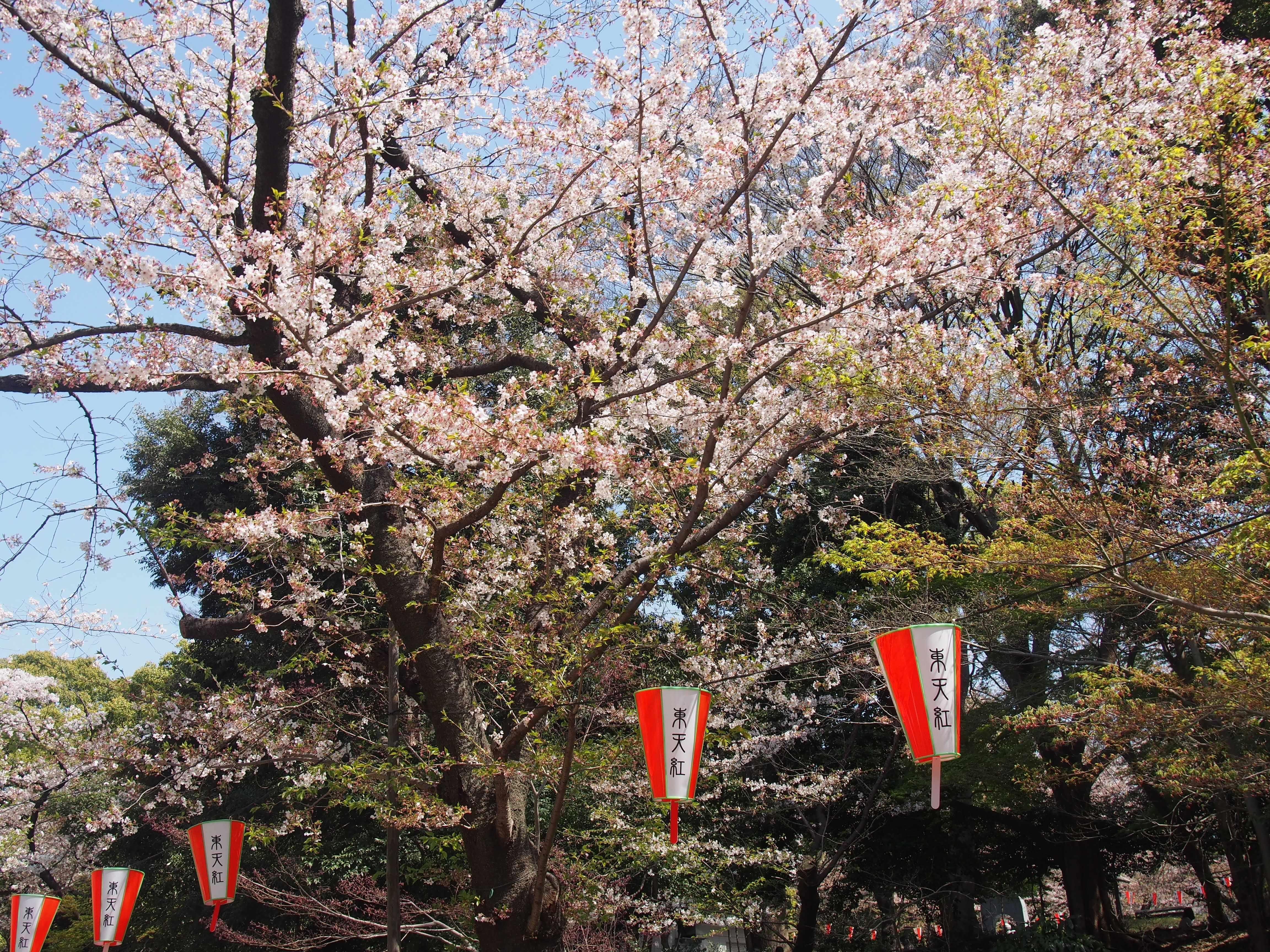 上野恩賜公園で花見2
