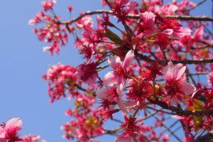 上野恩賜公園で花見デート